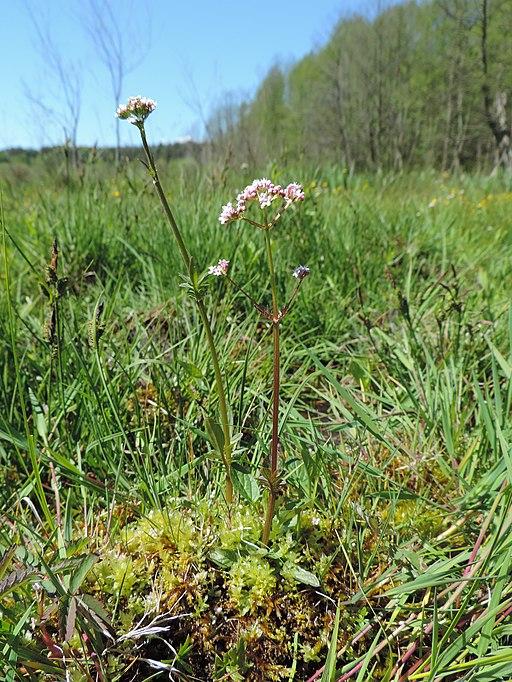 Baldrian, kleiner - Pflanze