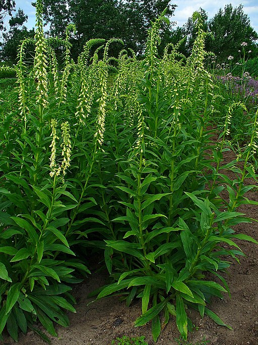 Fingerhut, Gelber - Pflanze