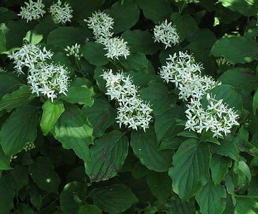 Hartriegel, Roter (Cornus sanguinea) - Blüte