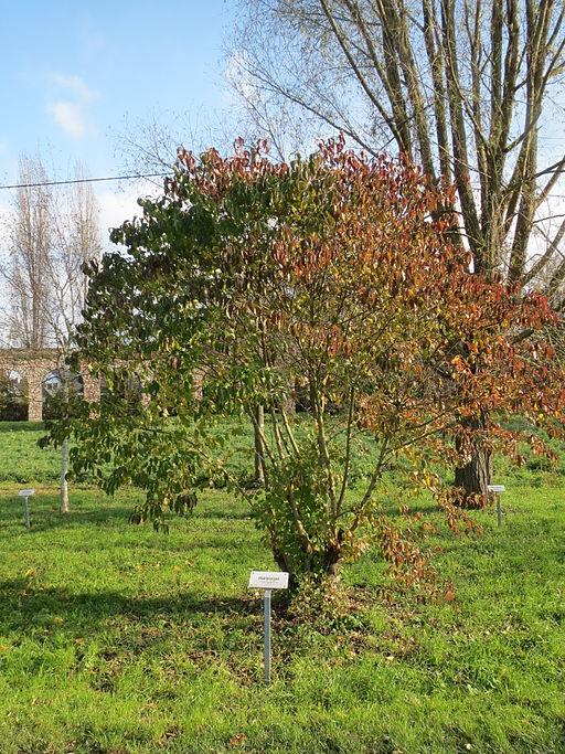 Hartriegel, Roter (Cornus sanguinea) - Pflanze