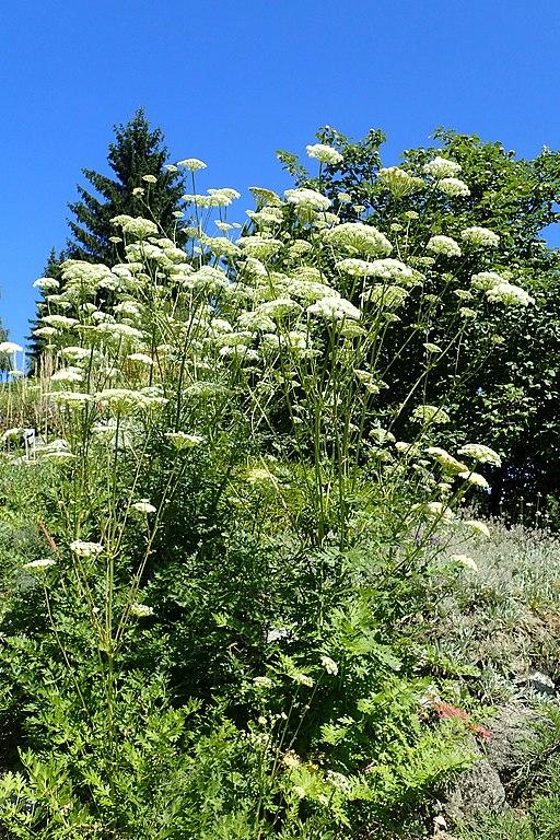 Heilwurz, Berg (Seseli libanotis) - Pflanze
