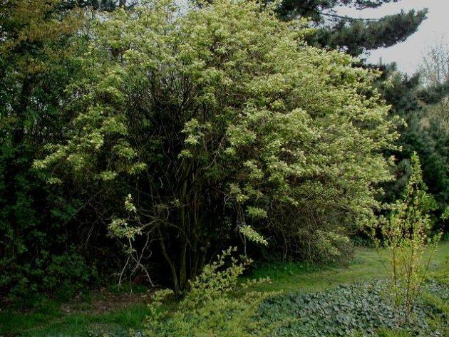 Holunder, Roter (Sambucus racemosa) - Pflanze