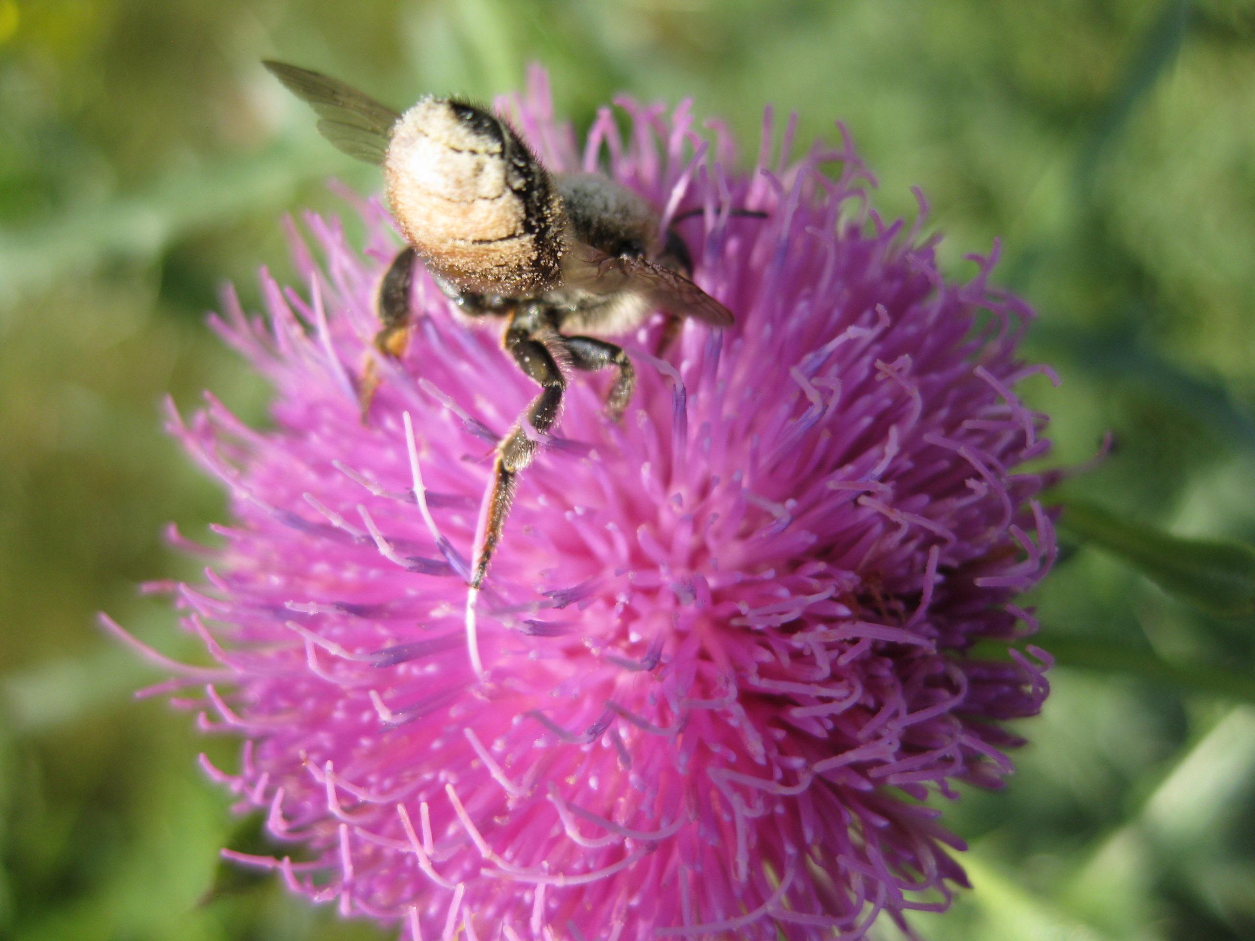 Ruderalpflanzen - Distel mit Blattschneiderbiene