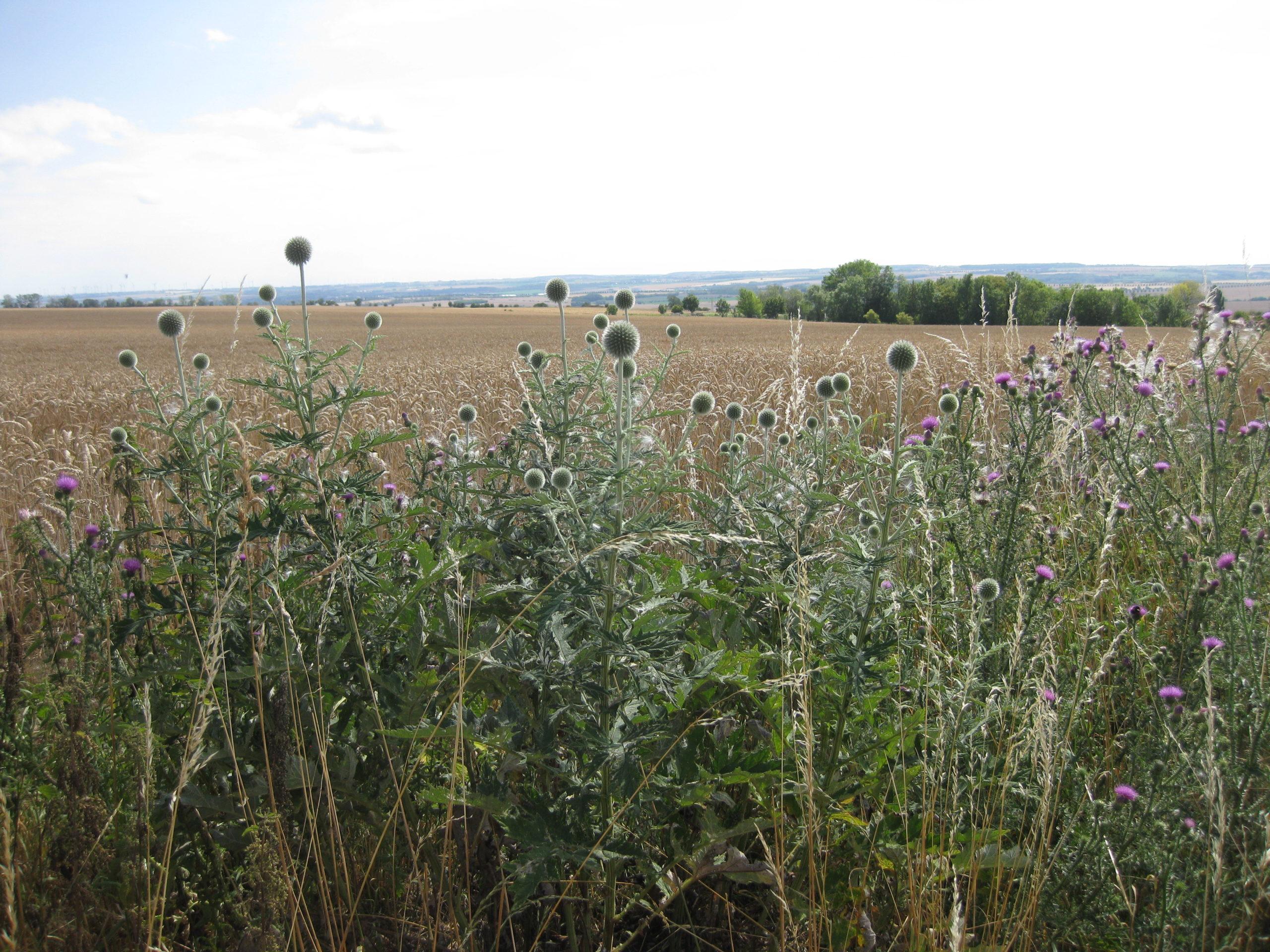 Ruderalvegetation mit Ruderalpflanzen auf dem Ettersberg bei Weimar