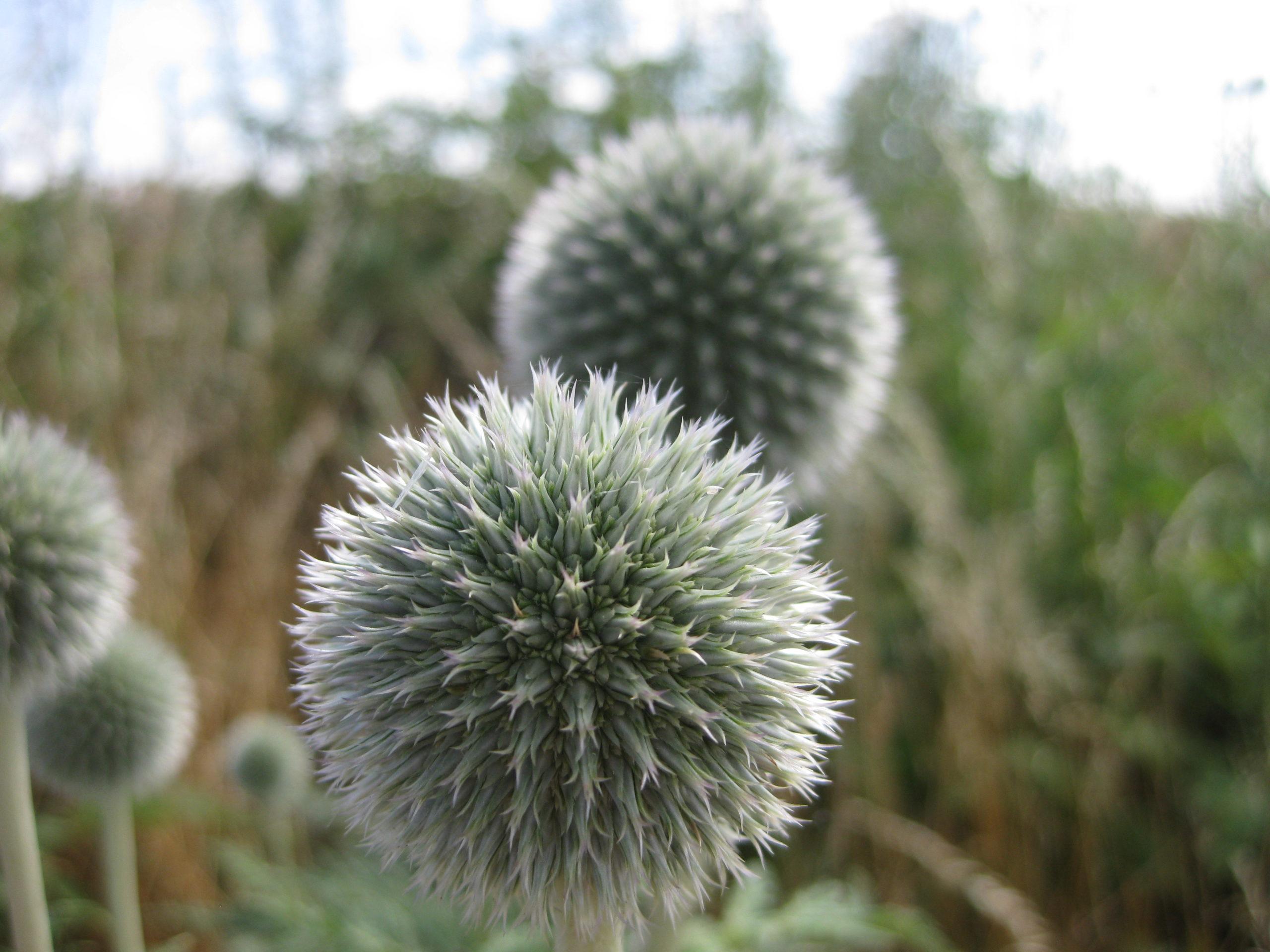 Ruderalpflanzen - Drüsenlose Kugeldistel
