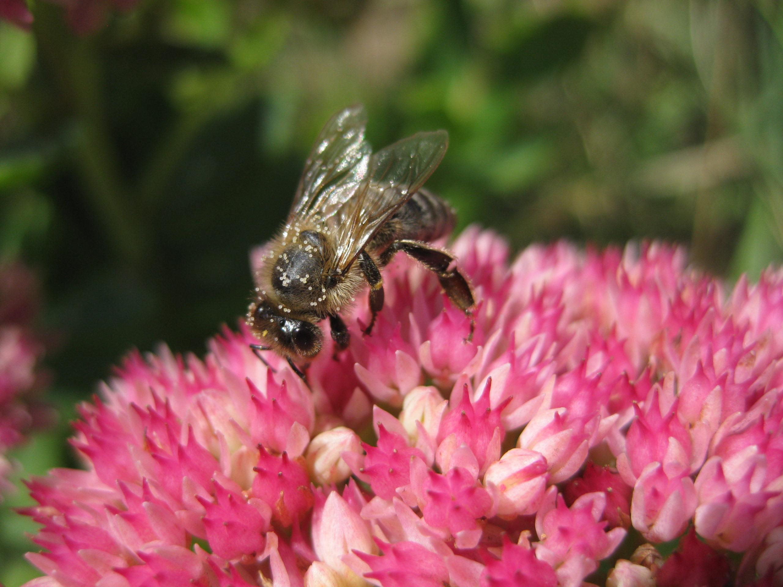 Spritzschutzstreifen - Honigbiene auf Purpur Waldfetthenne