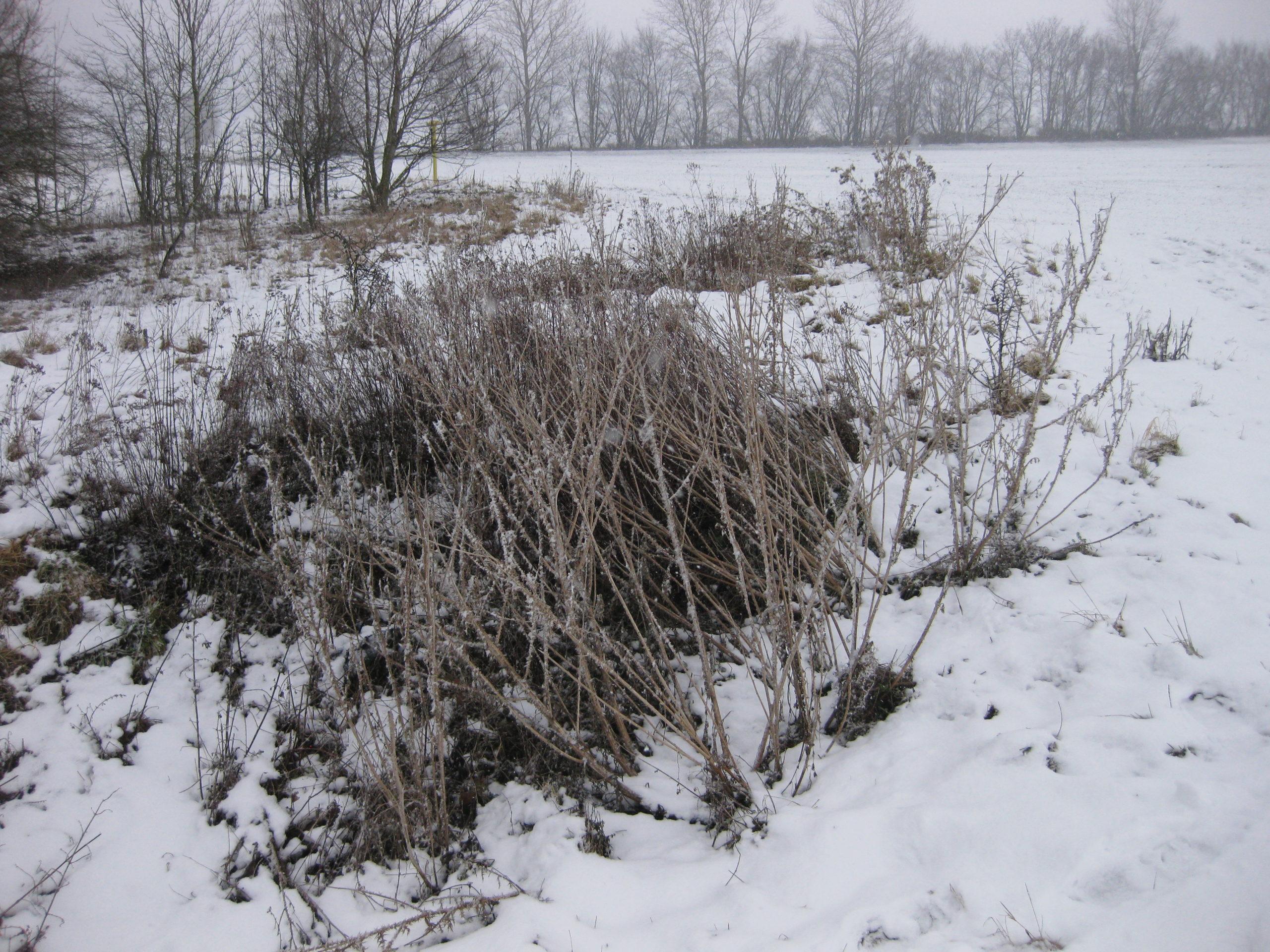 Ruderalvegetation im Winter