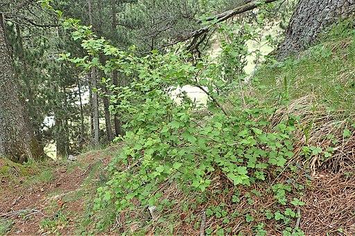 Alpen-Johannisbeere (Ribes alpinum) - Pflanze
