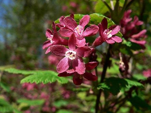 Johannisbeere, Blut (Ribes sanguineum) - Blüte
