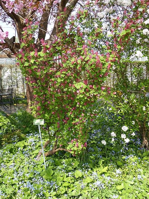 Johannisbeere, Blut (Ribes sanguineum) - Pflanze