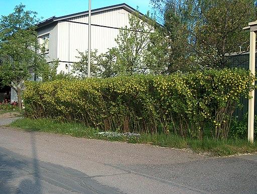 Johannisbeere, Gold (Ribes aureum) - Pflanze
