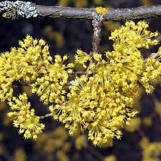 Kornelkirsche (Cornus mas) - Blüte