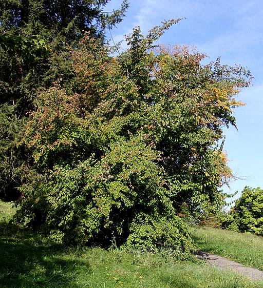 Kornelkirsche (Cornus mas) - Pflanze
