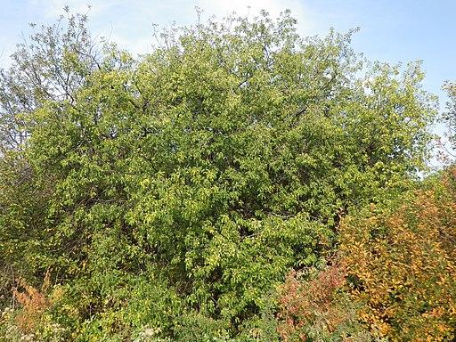 Kreuzdorn, Purgier (Rhamnus cathartica, Syn.: Rhamnus catharticus L.) - Blüte