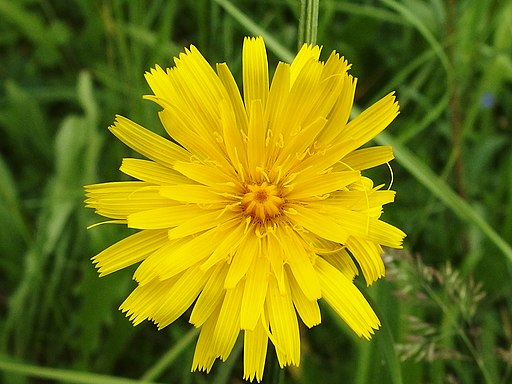 Steifhaariger Löwenzahn - Blüte