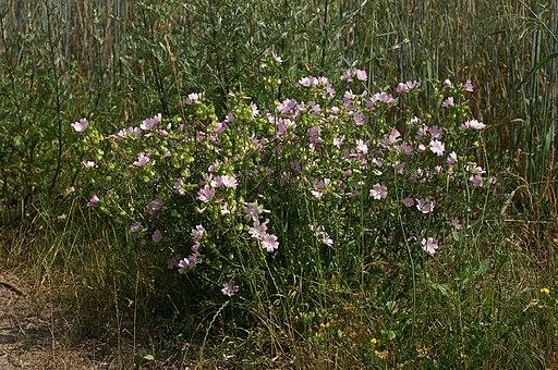 Malve, Moschus - Pflanze