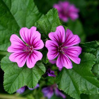 Malve, Wilde - Blüte