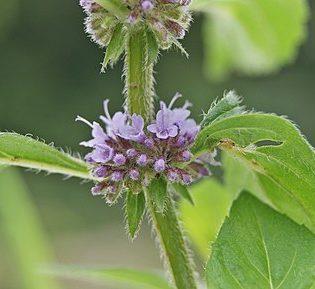 Minze, Acker - Blüte