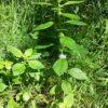 Acker Minze - Darstellung der Pflanze