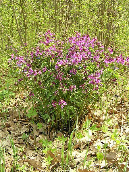 Platterbse, Frühlings - Pflanze