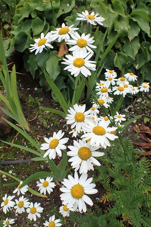 Wucherblume, Straußblütige - Pflanze