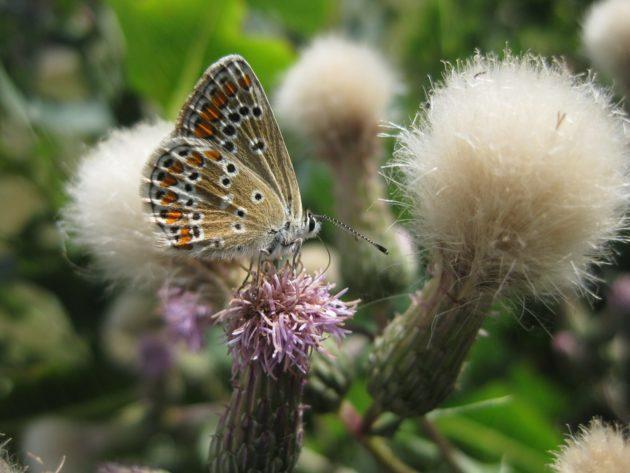 Blüte der Acker Kratzdistel mit Schmetterling