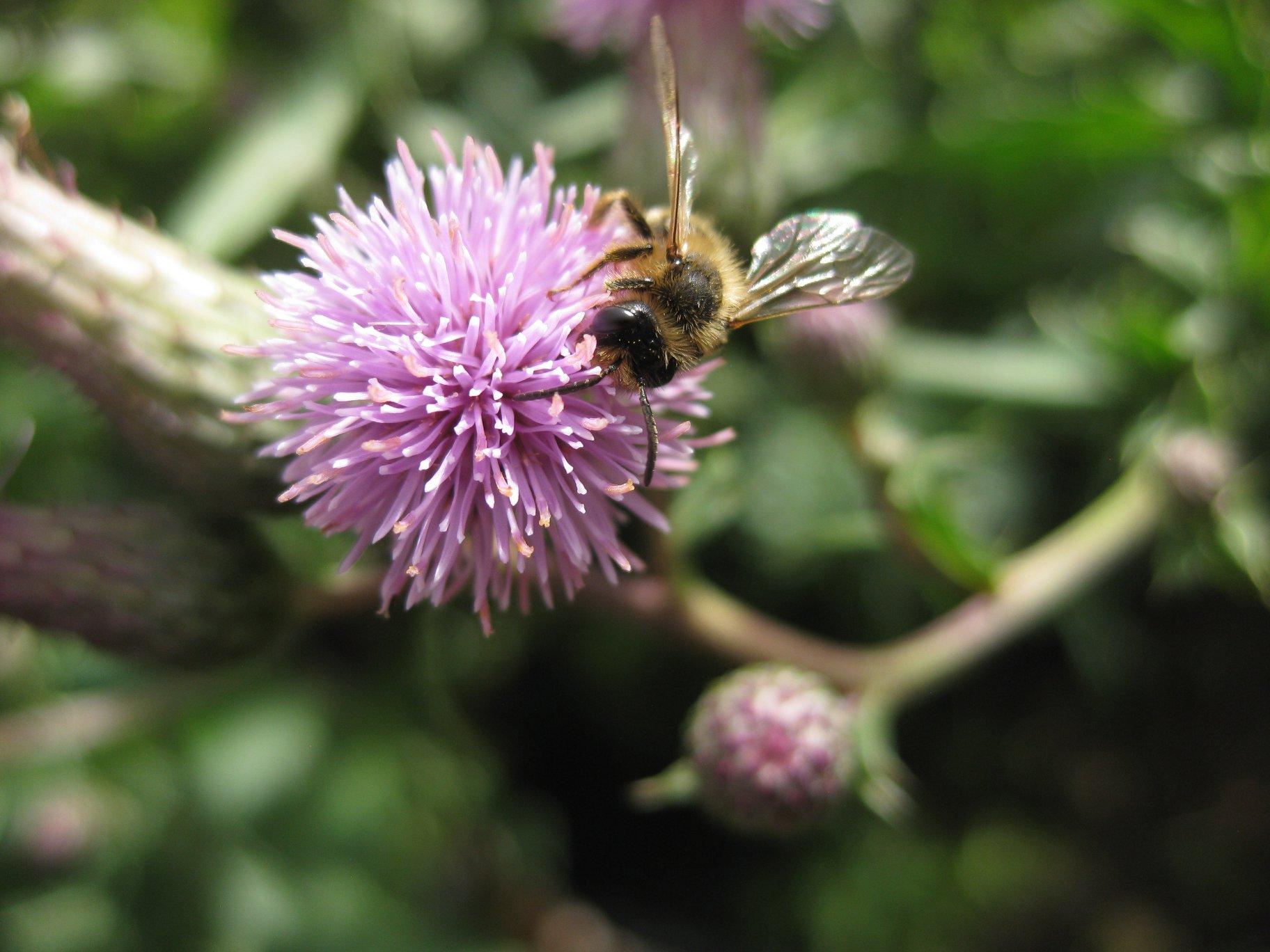 Blüte der Acker Kratzdistel mit Biene