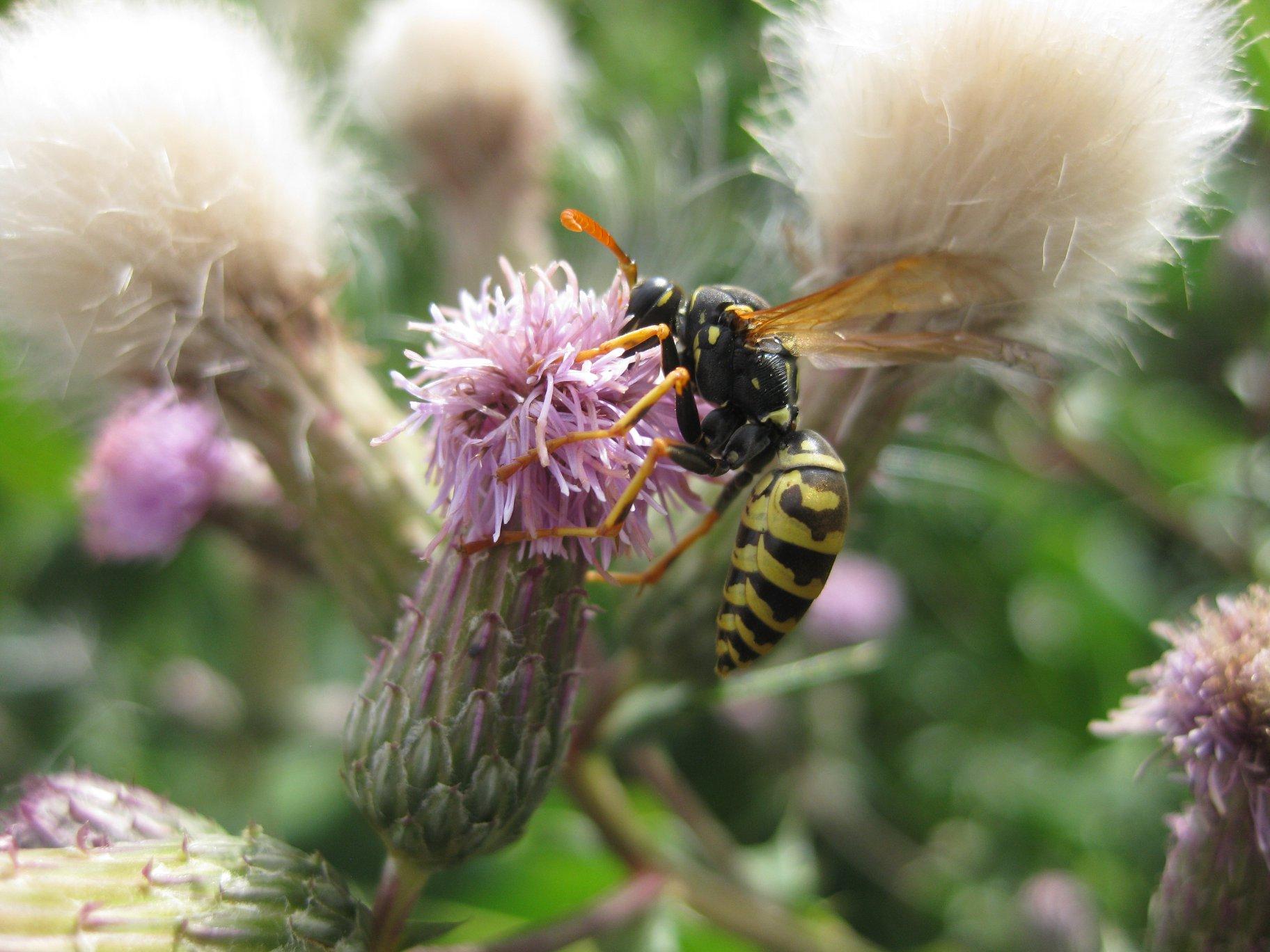 Blüte der Acker Kratzdistel mit Wespe
