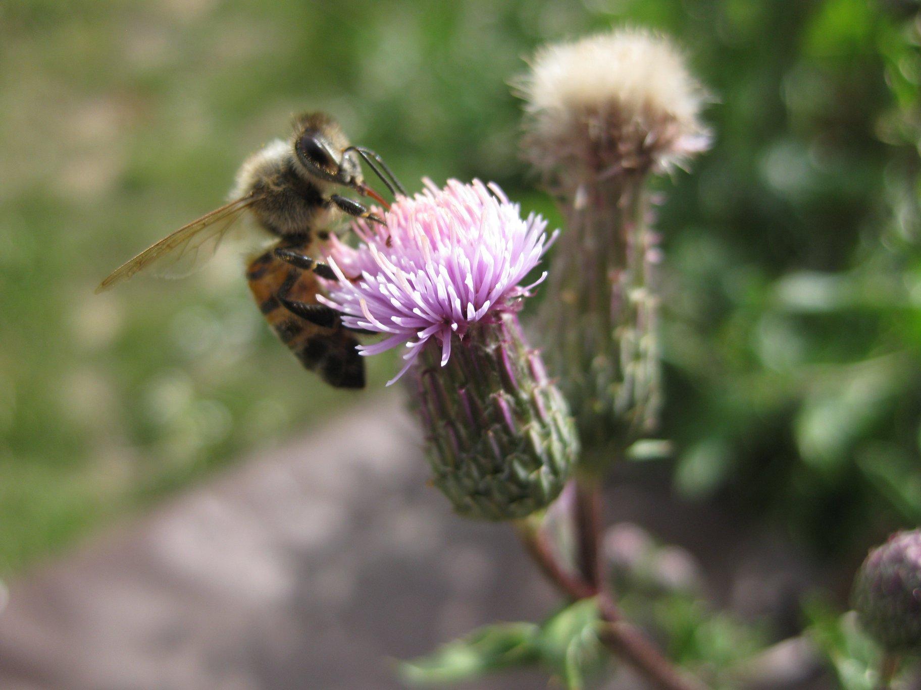 Blüte der Acker Kratzdistel mit Honigbiene