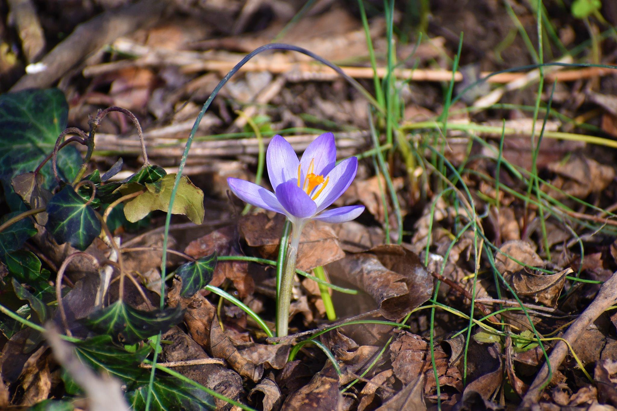 Darstellung einer violetten Krokusblüte