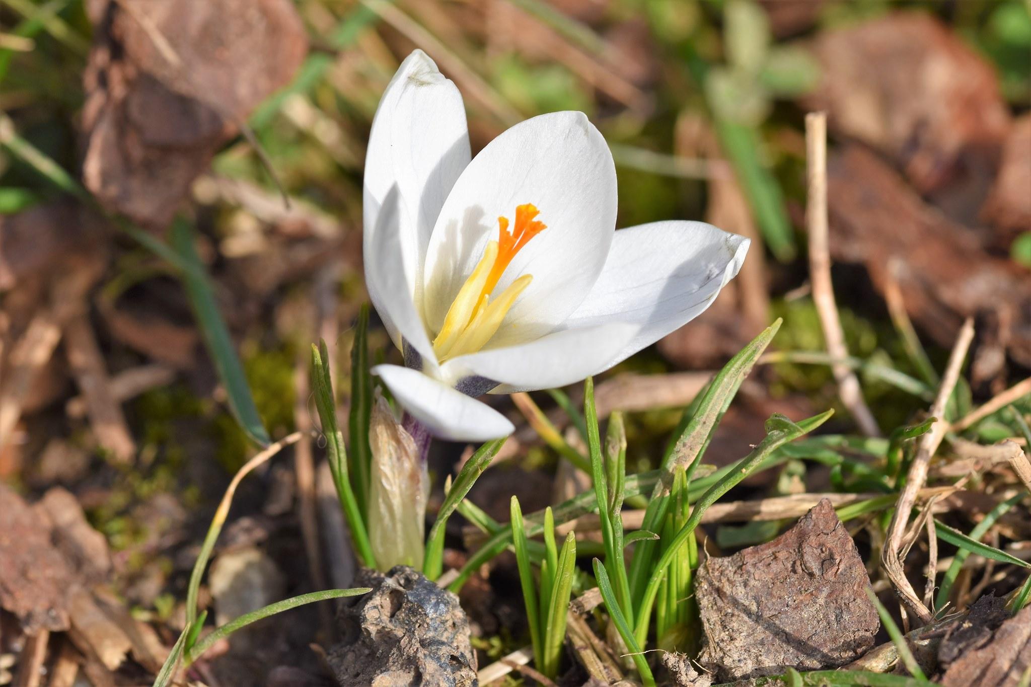Darstellung einer weißen Krokusblüte