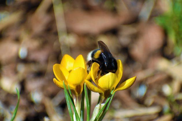 Darstellung einer Blüte mit Hummel