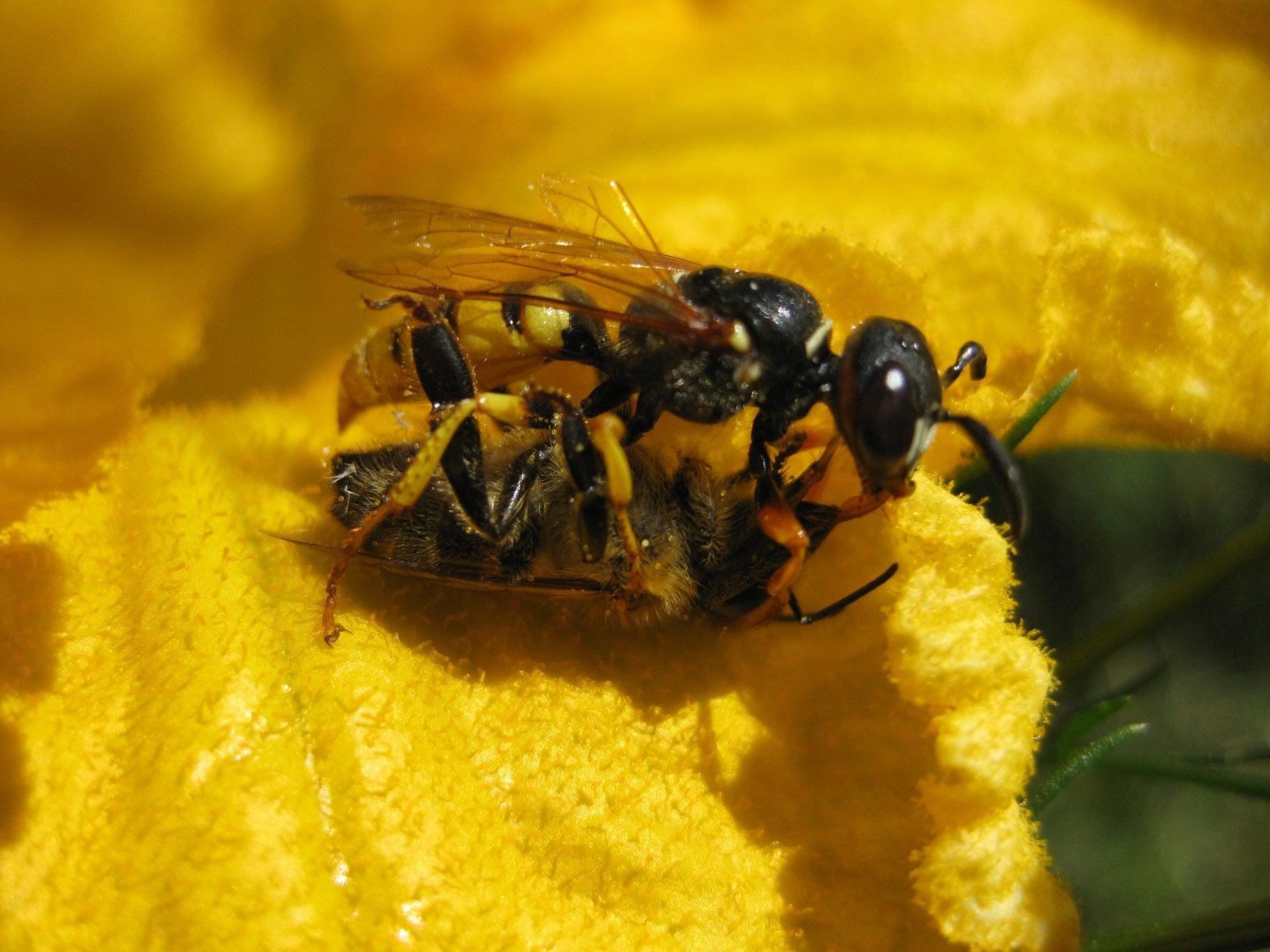 Bienenwolf mit Honigbiene auf Kürbisblüte (bienenfreundliche Pflanze)