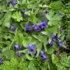 Duftveilchen - Darstellung der Pflanze