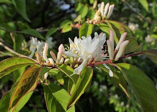 Wohlriechende Heckenkirsche - Darstellung der Blüte