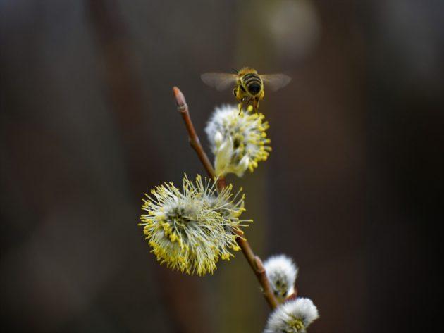 Honigbiene fliegt zur Salweide