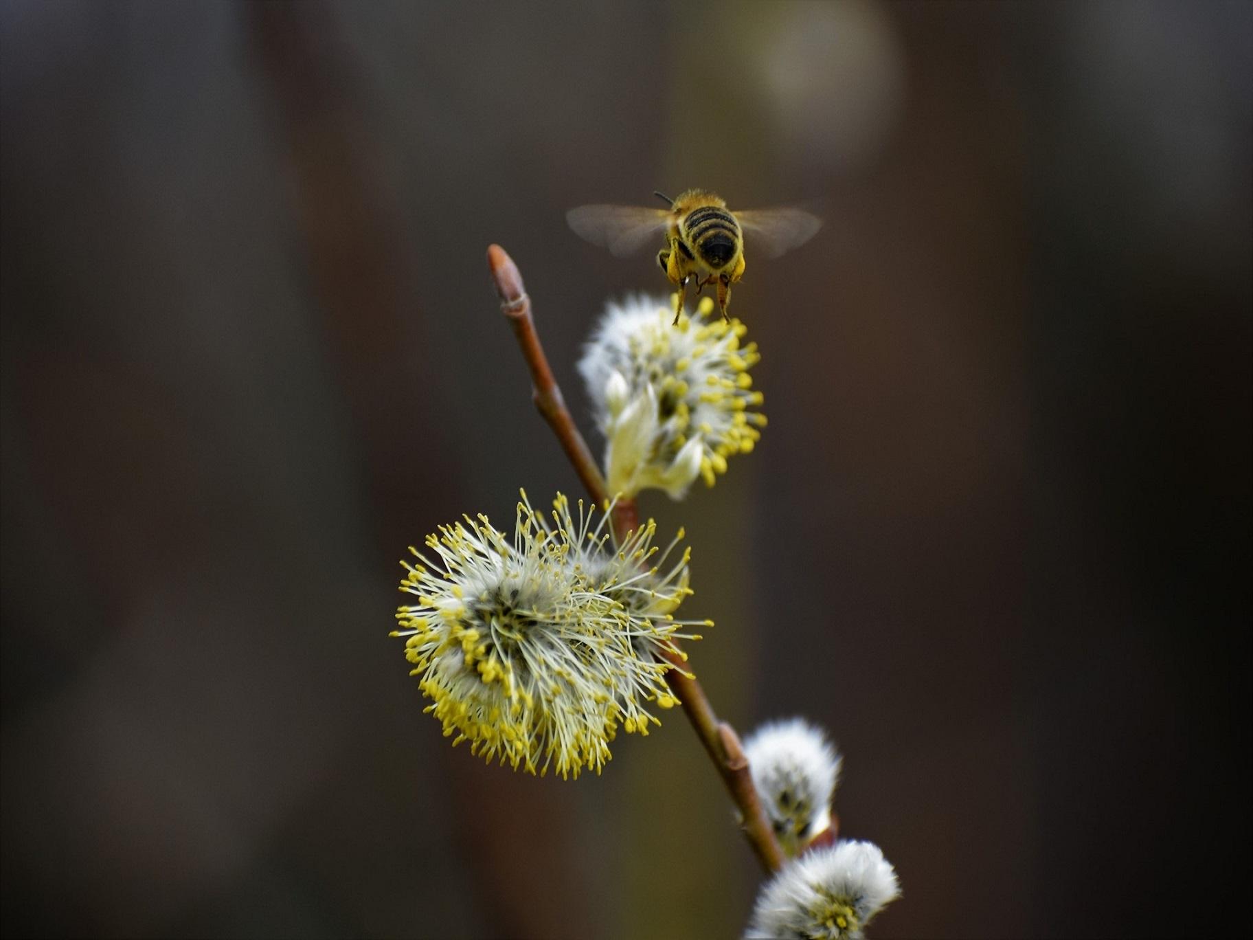 Honigbiene fliegt zur Sal-Weide