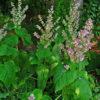 Muskattellersalbei (Salvia sclarea) - Darstellung der Pflanze
