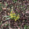 Wald Gelbstern - Darstellung der Pflanze