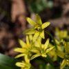 Wald Gelbstern - Darstellung der Blüte