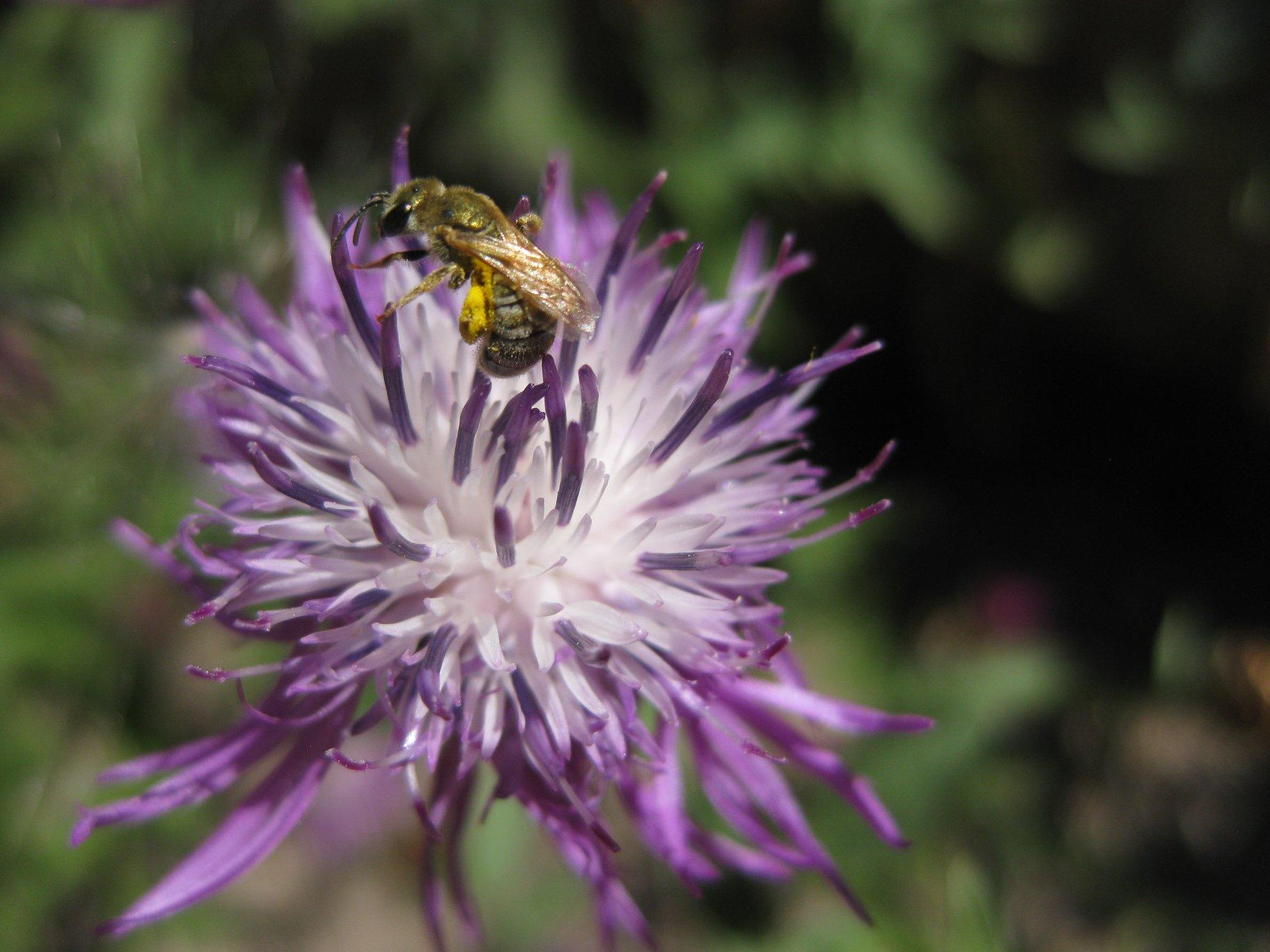 Wildbiene auf Flockenblume