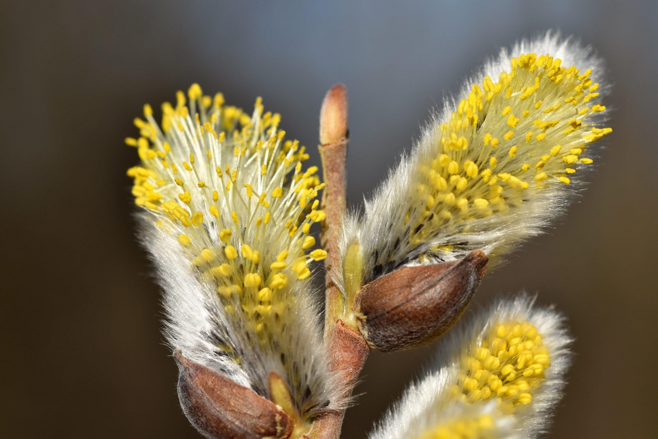 Gelber Frühblüher - Blüte der Sal-Weide