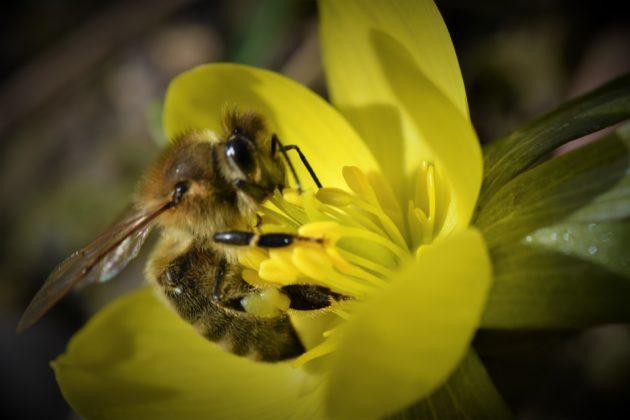 Honigbiene auf dem gelb blühenden Winterling