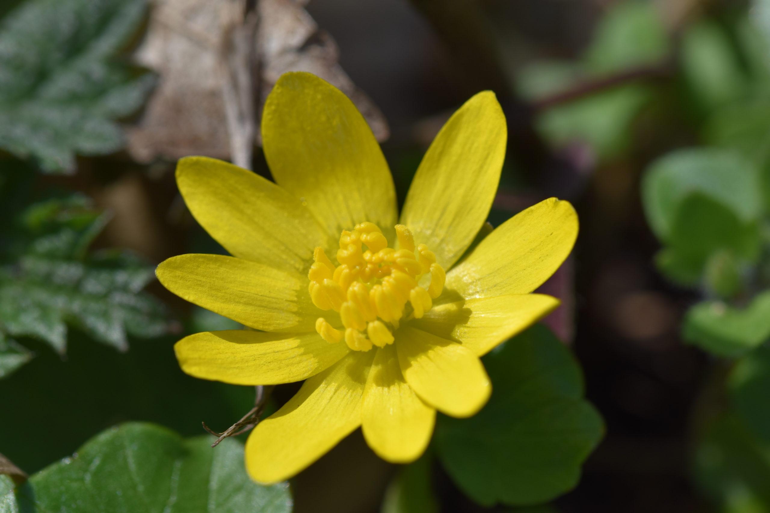 Scharbockskraut - Darstellung der gelben Blüte