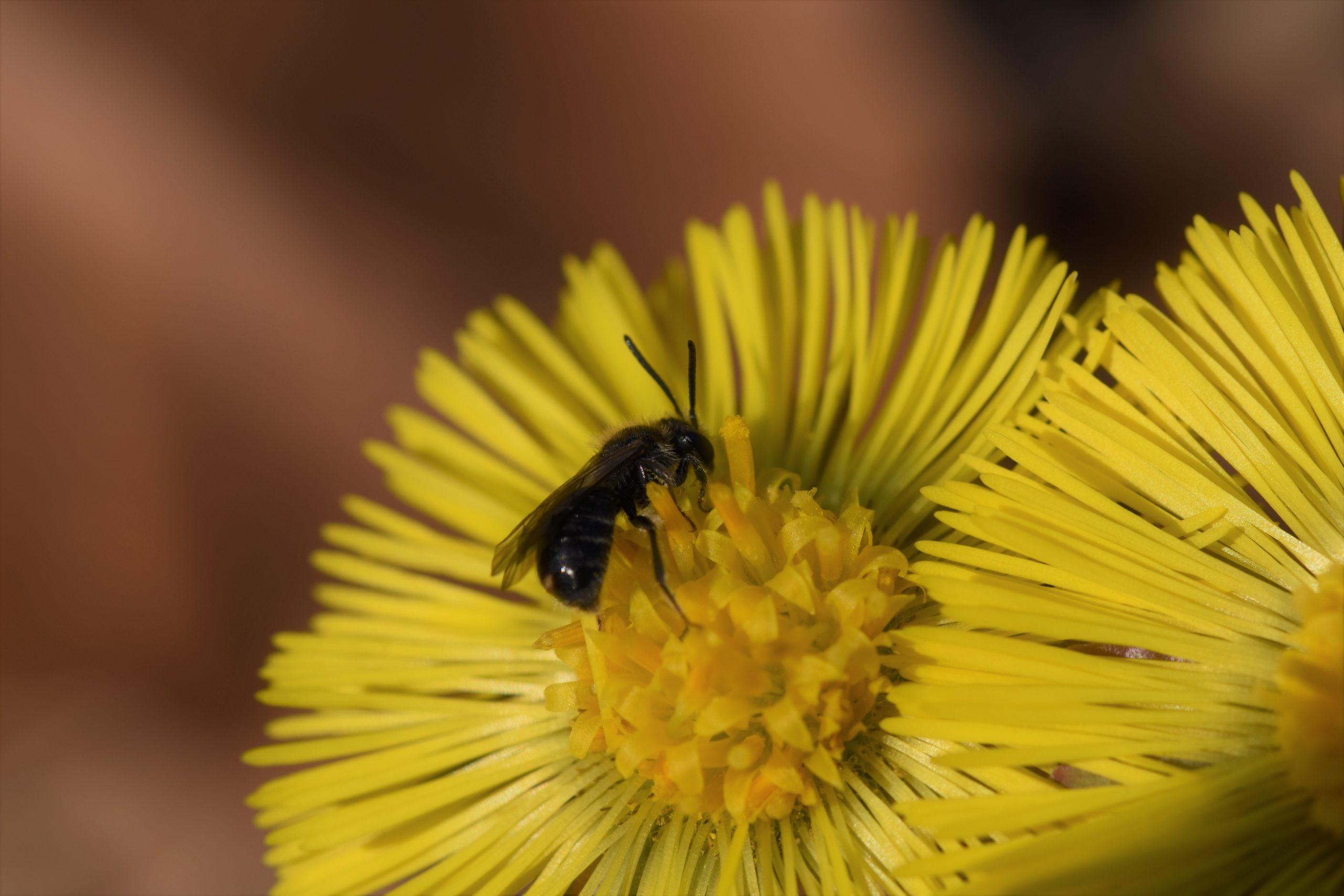 Wildbiene auf gelber Huflattichblüte (gelber Frühblüher)