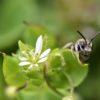 Vogelmiere - Darstellung der Blüte mit Wildbiene