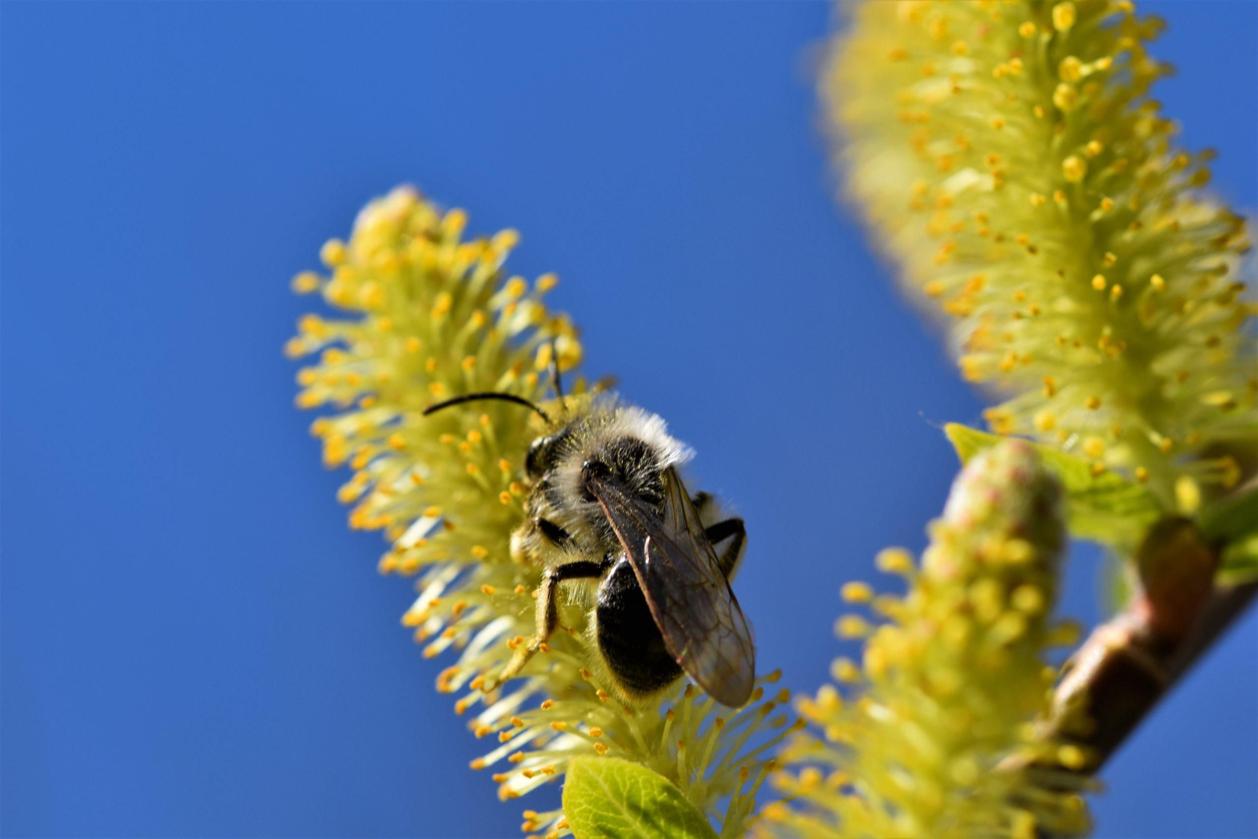 Gelbe Frühblüher - Wildbiene auf immerblühender Mandelweide