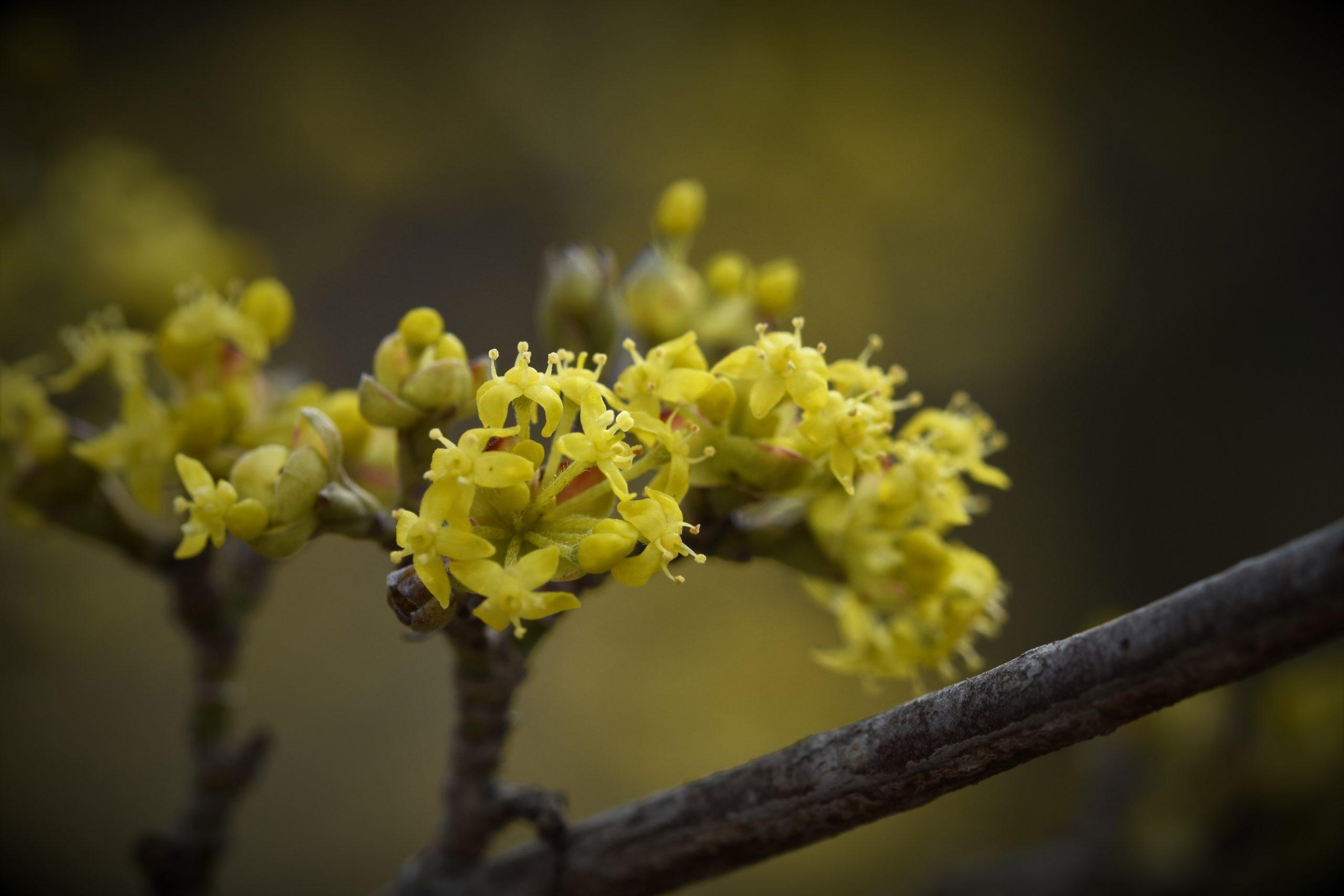 Gelbe Frühblüher - Blüte der Kornelkirsche
