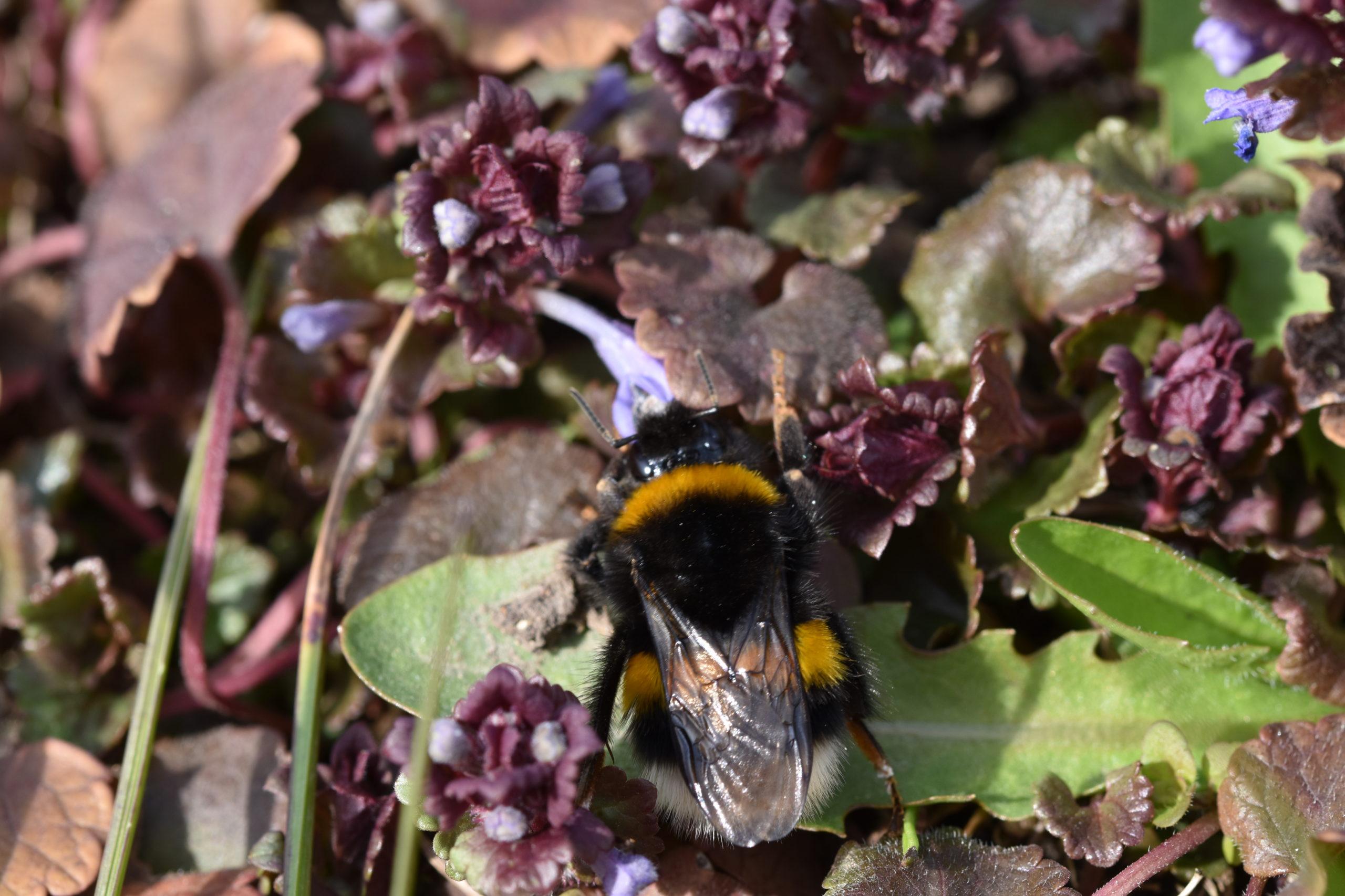 Beitrag Gundermann Bienen - Erdhummel an Gundermannblüte