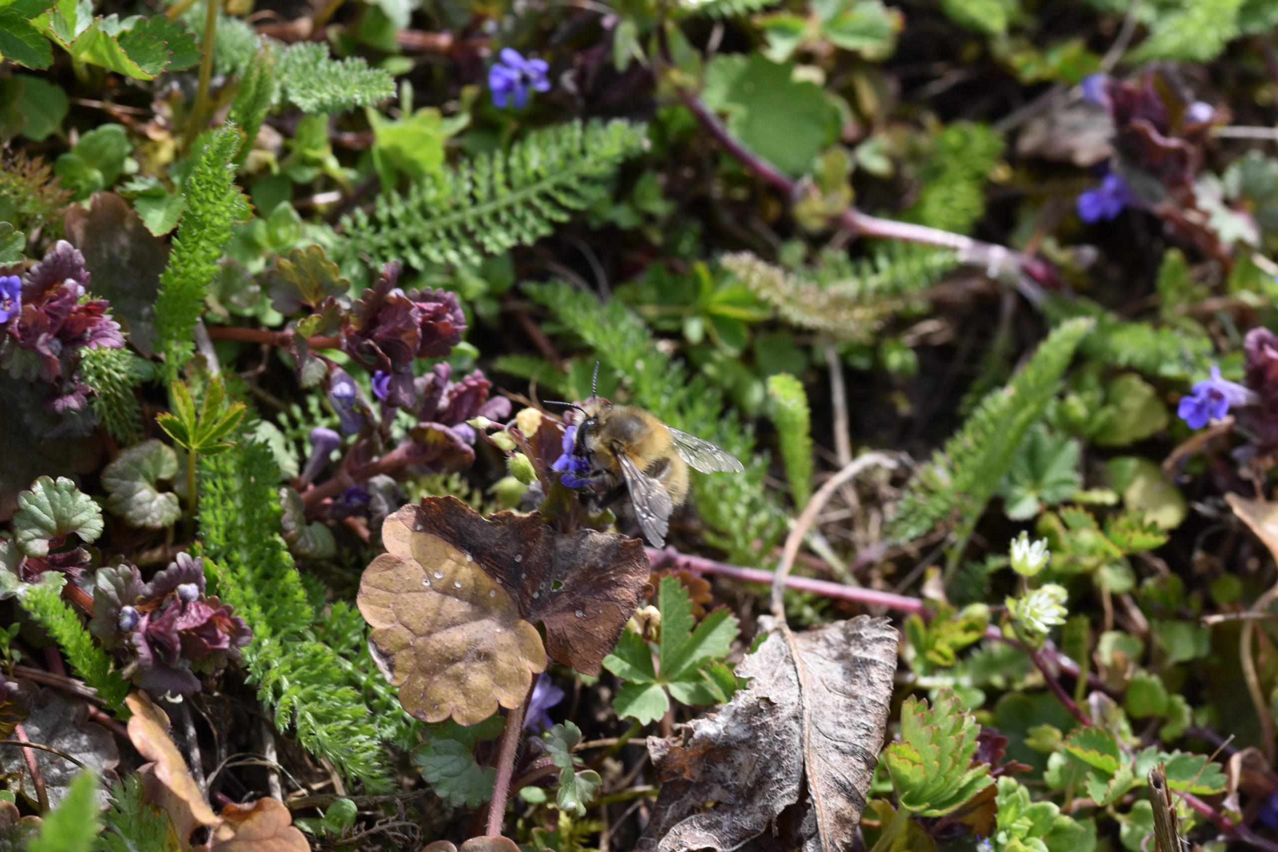 Wildbiene an Gundermannblüte